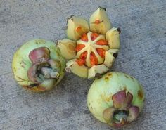 Autograph Fruit : Clusia major has become a great threat to Sri Lanka, Hawaii, and many other countries as an invasive plant.The fruit is poisonous.