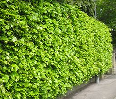 Beech Hedging (Fagus sylvatica)… referenced in September by Rosamunde Pilcher … - Modern Terrace Garden Design, Cottage Garden Design, Garden Landscape Design, Deciduous Trees, Trees And Shrubs, Trees To Plant, Shrubs For Landscaping, Garden Shrubs, Steep Gardens