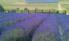 Lavender Farm, Boyne City Michigan #PetoskeyArea http://www.PetoskeyArea.com