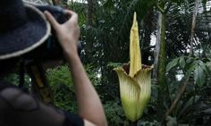 'Worse than one thousand pukes': fetid corpse flower overwhelms New York