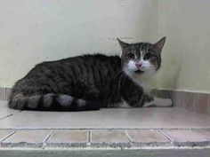 TO BE DESTROYED 12/15/14  Brooklyn Center My name is TIGGER. My Animal ID # is A1022407.  I am a spayed female brn tabby and white domestic sh mix. The shelter thinks I am about 15 YEARS old.***TO ADOPT THIS ANIMAL THROUGH THE PUBLIC ADOPTION SITE, PLEASE GO TO THE FOLLOWING LINK AND SCROLL DOWN TO BOTTOM TO LOG IN AND RESERVE THE ANIMAL. THERE WILL BE A $50 DEPOSIT REQUIRED. THIS OPTION IS AVAILABLE UNTIL 12PM TOMORROW. http://www.nycacc.org/PublicAtRisk.htm ***