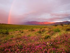 The Blooming Desert  In the years when Chile is more rainy than usual, the Atacama Desert is covered with flowers and herbs.