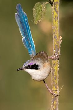 Purple-crowned Fairywren.
