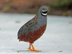 "The King Quail, also known as the Asian Blue Quail, or Painted Quail, is the smallest of all the ""true Quail"" species. They measure only about 6in in length, and the females are larger than the males. You'll find them in south and southeast Asia, Australia, and on several Pacific islands."