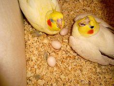 Cockatiels in the Nesting Box Caturras na caixa de nidificação