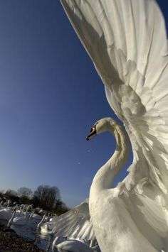 A mute swan stretches its wings in the warm