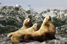 San Juan Island, WA: Steller Sea Lions at Whale Rocks