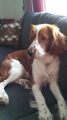 Brittany Spaniel Horses And Dogs, Dogs And Puppies, Doggies, Cute Cats And Dogs, I Love Dogs, Adorable Dogs, Best Dog Breeds, Best Dogs, Brittany Spaniel Dogs