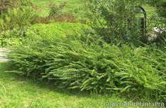 Lonicera nitida 'Maigrün - Google keresés Plants, Google, Peace, Board, Lawn And Garden, Plant, Planets
