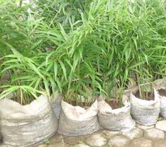 http://www.fark.com/users/ndikrulil/   tanaman umbi yang sangat erat kaitannya denagan negara tropis seperti negara kita. Jahe bisa dimanfaatkan hampir di semua jenis industri. Jadi jika anda hanya tahu jahe berguna untuk bumbu dapur saja, rasanya anda patut membaca banyak literatur lainnya seputar jahe. Pasalnya jahe juga ternyata bermanfaat dalam dunia kecantikan dan juga kesehatan http://gooretro.blogspot.com/2017/04/cara-menanam-jahe.html