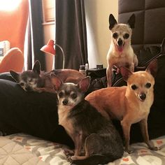 4 Elderly Chihuahua Dogs - Unending thanks for entrusting us to a forever Home