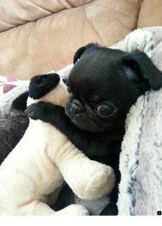 634f45ee --Read more about teacup pug puppies for sale. Simply click here for more