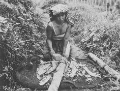 Een arbeidster op de kina-en theeplantage Sedep in Priangan oogst de bast van een kinaboom. Between 1900 and 1940. Pangalengan, West Java, Indonesië, Nederlands-Indië
