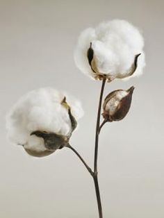 What is Egyptian Cotton? Egyptian Cotton is a natural fiber, grown in climate condition like Egypt. It is known as ELS cotton. Home Decor Floral Arrangements, Cotton Painting, Painting Canvas, Cotton Pictures, Cotton Blossom, Cotton Plant, Cotton Fields, Egyptian Cotton, Bridal Gifts