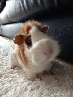 Cute guinea pig ^.^