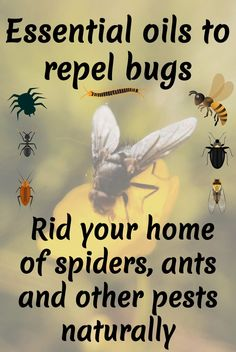 Get rid of bugs naturally by using essential oils to repel them. Find out which oils to use with which pests and make your own custom bug spray. Essential Oil Bug Spray, Essential Oil Uses, Essential Oil Diffuser, Essential Oil Ant Repellant, Get Rid Of Flies, Get Rid Of Ants, Bug Spray Recipe, Get Rid Of Spiders, Insecticide