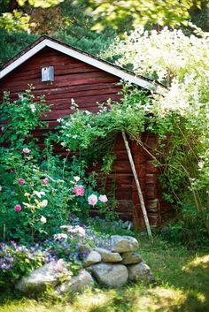 Till höger en frösådd Rosa multiflora, satt rätt ned i marken utan den minsta jordförbättring eller djupgrävning. Växtkraften är inte att ta miste på, den välter nästan den skrangliga boden och måste beskäras brutalt varje år för att inte ta över totalt. Två veckors blomning är dock så spektakulär att den är förlåten alla rivsår.