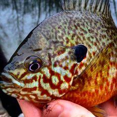 Gods work of art.     #fish #fishing #sunfish #beauty #art #workofart #pretty #kayaking #kayakfishing #pumkinseed #bluegill #bass #outdoors #nature #wildlife #epic #cool #photoart #Godisgood #Godisgreat #blessed #bassfishing #angler #color #instacool #instagood #pattern