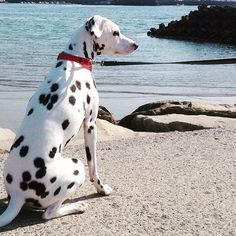 SARA♡ この間行った海〜⛵️✨ #ダルメシアン #dalmatian #Dalmatians #dalmatianpuppy #dalmatianspotlight #dalmatiansofinstagram #dalmatians_of_instagram #west_dog_japan
