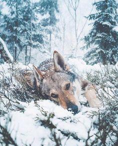 Scientific PetPace Pet Collars — Monitors Winter Health Dangers for At-Risk Animals Beautiful Wolves, Beautiful Dogs, Animals Beautiful, Animals And Pets, Nature Animals, Cute Animals, Wild Animals, Cool Pet Names, Dog Names