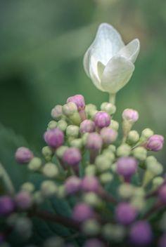 hortensia by beas6666