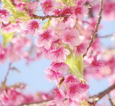 flor de cereijeira japão | Planta cerejeira-japonesa | EcoAdubo