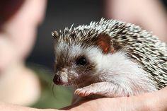Elenor Rigby the Hedgehog