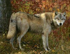 Обществено  обсъждане на План за действие за вълка в България ще се проведе в…