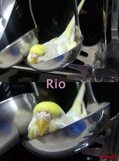 Cutest budgie picture Ever!!!