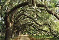 the Spanish Moss and Live Oaks remind me of Fort Oglethorpe and South Georgia. Tree Tunnel, Live Oak Trees, Old Trees, Spanish Moss, Savannah Chat, Savannah Georgia, Savannah Smiles, Savannah Tours, Georgia Usa