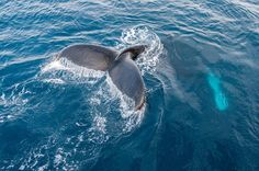 Diving Humpback Whale in the Gerlache Strait, Antarctica