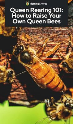 New beekeepers should also be knowledgeable about the reasons and methods for rearing queen bees. Knowing what is involved is half the battle won. Hives And Honey, Honey Bees, Bee Hive Plans, Beekeeping For Beginners, Raising Bees, Bee Farm, Backyard Beekeeping, Bee Friendly, Annual Plants