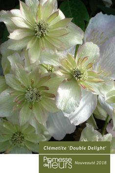 Comme un manteau de neige au printemps: cette vigoureuse clématite atteignant rapidement 5 à 6m de hauteur produit de belles fleurs doubles et blanches de 8cm, bien parfumées. Elle fleurit en abondance au printemps, puis à nouveau en fin d'été. Son feuillage, très sain, abondant est parfait pour couvrir tout support avec élégance. Cette variété se plaît partout, même à exposition nord, et ne demande pas de taille. #jardin #jardinage #clematite #jblanc