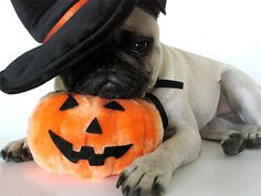 Image result for pug halloween