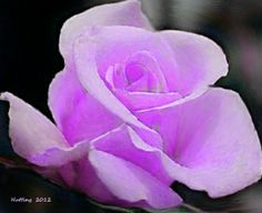 Light Purple Roses | Pin it Like Image Purple Roses, Pink, Like Image, Green Rose, Beautiful Roses, Light Purple, Flowers, Plants, Scriptures