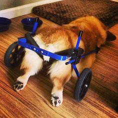 """Napping in her wheels.""#Corgi pup asleep."