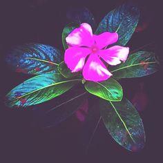 Periwinkle Flowers, Plant Leaves, Plants, Plant, Planets
