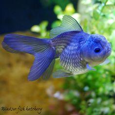 20 Types of Goldfish for Aquarium (Oranda, Shubunkin, Bubble Eye, Etc) Goldfish Types, Fantail Goldfish, Goldfish Aquarium, Goldfish Tank, Goldfish Food, Goldfish Tattoo, Fish Tank Cleaning, Betta Fish, Aquariums