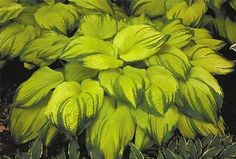 On Stage Hosta Plant Bright Yellow Green Edge Plant Shade Garden Plants, Hosta Plants, Shade Perennials, Foliage Plants, Growing Flowers, Planting Flowers, Hosta Varieties, Hosta Gardens, Heuchera