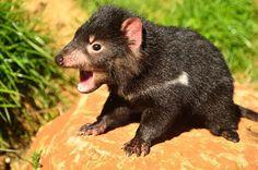 Tasmanian Devil Facts by Carol Haberle. Photo by Dan Fellow. Article for Think Tasmania. Baby Animals, Cute Animals, Tasmanian Devil, Tasmanian Tiger, Wildlife Park, Australian Animals, Park Photos, Weird Creatures, Australia Travel