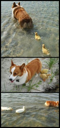 Even ducks love corgis.