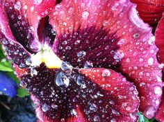 Pansies covered in a sugary looking dew.