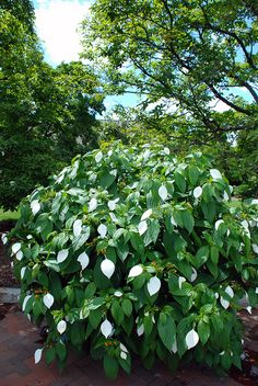 Dhobi Tree (Mussaenda frondosa) along the Haupt Garden parterre.