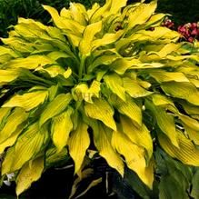 Rare Hosta Garden Perennial Plantain Lily Shade Plant (200 Pcs) – Self Sufficient Soul Plantain Lily, Ground Cover, Plants, Lily Flower, Fragrant Garden, Perennials, Lily Flower Seeds, Shade Plants, Live Plants