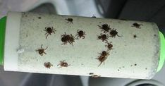 A Genius Trick To Keep Ticks From Biting You - Peppermint Oil & a Lint Roller Tick Bite, Healthy Holistic Living, Lyme Disease, House And Home Magazine, Pest Control, Health And Beauty, Helpful Hints, Health Tips, Herbalism