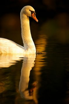 Swan in the evening light by generalstussner, via Flickr