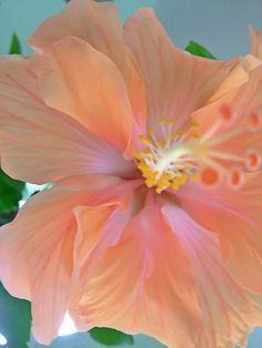 I miss Maui (HI) for its amazing Hibiscus ice tea! Hibiscus Flowers, Exotic Flowers, Tropical Flowers, Amazing Flowers, My Flower, Colorful Flowers, Beautiful Flowers, Hibiscus Sabdariffa, Calla