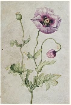 Illustrated Anenome