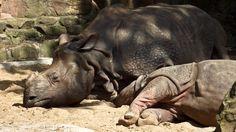 Rinoceronti  (10)