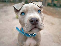 educar un cachorro de pit bull para que pida permiso